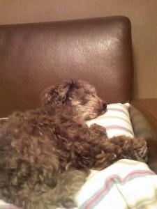Very lazy toy poodle
