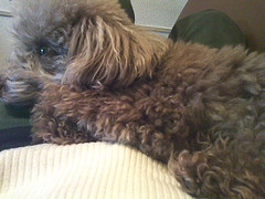 toy poodle is sleeping on my stomach