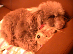 toy poodle stucks with stuffed animal