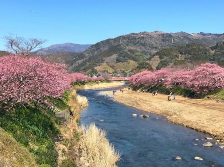 Cherry blossoms in Kawazu Town