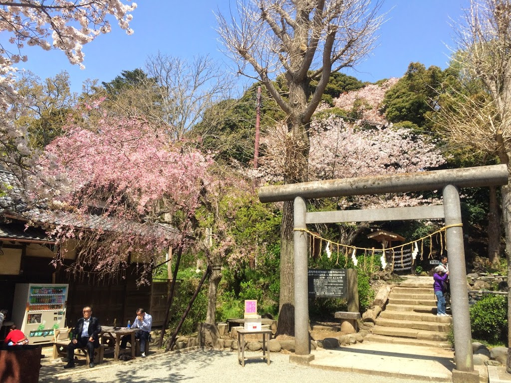 Best time to see cherry trees at the park of Genjiyama in Kamakura,Japan is today or tomorrow.