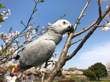 Cherry blossoms and African Gray Parrot at Hikijigawa Shinsui park in Fujisawa city
