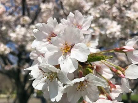Cherry blossoms at Hikijigawa Shinsui park in Fujisawa city