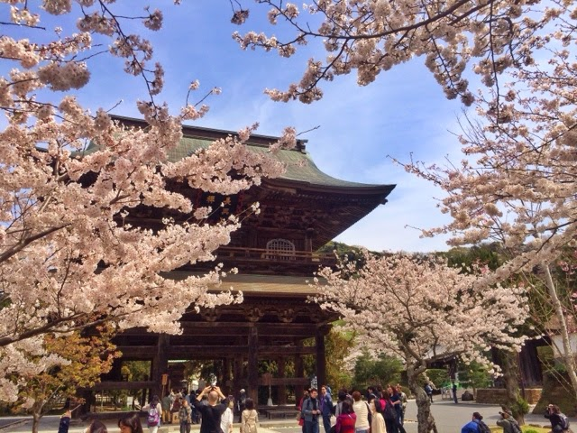 Today is the best time to see cherryblossoms at Kencho-ji temple.