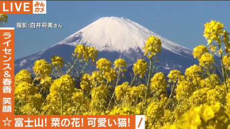 AbemaTV canola flowers with Mount Fuji