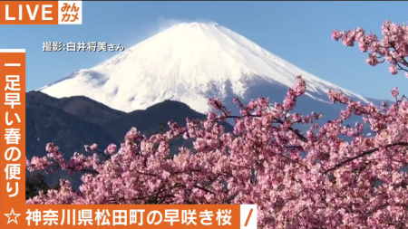 Abema TV cherry blossoms and Mt.Fuji