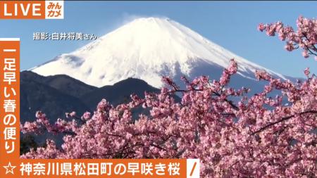 Abema TV cherry blossoms and Mt.Fuji