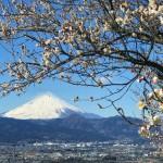 Plum and Mt.Fuji in Soga,Japan