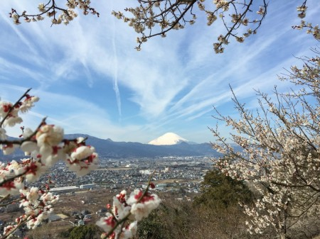 Plum and Mt.Fuji in Soga,Japan