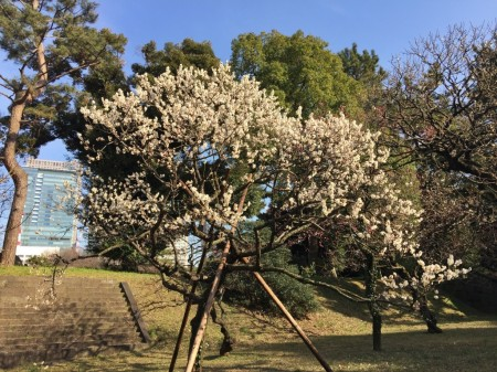 Plum blossoms at Imperial Palace in Tokyo.