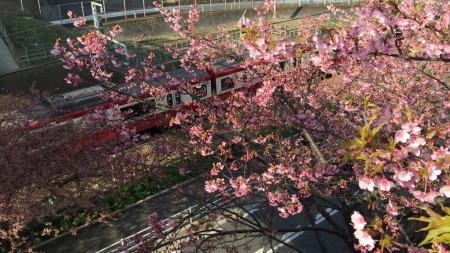 Cherry blossoms in Miura Kaigan