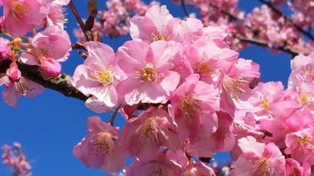 Matsuda Cherry Blossom Festival 2015