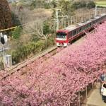 Cherry blossoms in Miura Kaigan
