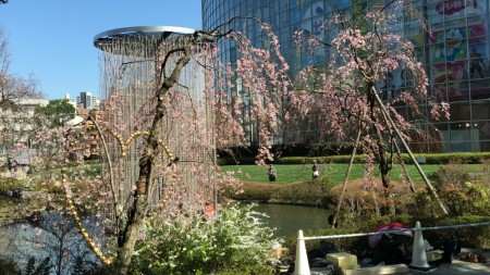 cherry blossoms in Mouri garden