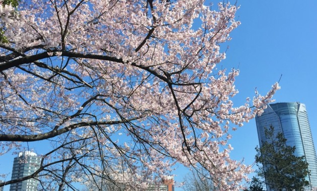 Cherry blossoms and Roppongi hills