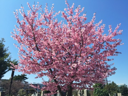 Cherry blossoms in Aoyama cemetery