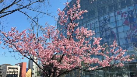 cherry blossoms in Mouri garden