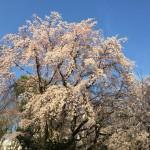 Weeping cherries in Rikugien