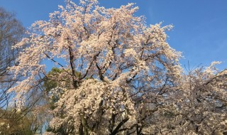 Weeping cherries in Rikugien