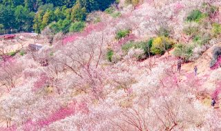 Plum forest in Yugawara