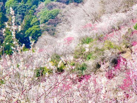 Plum forest in Yugawara