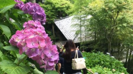 Hydrangea in Hase temple in Japan