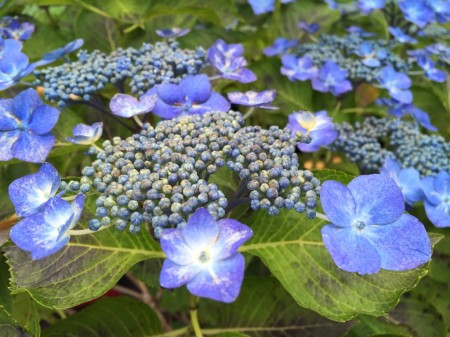 Hydrangea in Hase temple in Japan