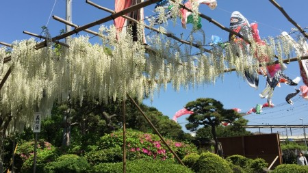 Carp streamers in Shirahata shrine