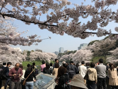 Cherry blossoms at Chidorigafuchi-ryokudo Walkway