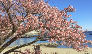 Cherry blossoms in Atami city