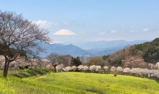 Cherry blossoms and Mt.Fuji
