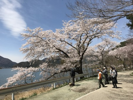 cherry blossoms at Nagasaki park