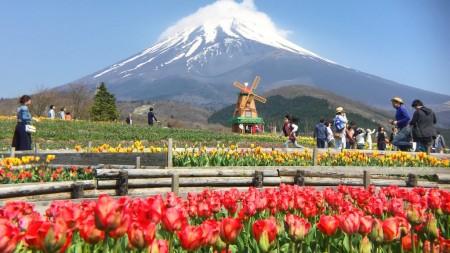 Tulip festival in Mt.Fuji