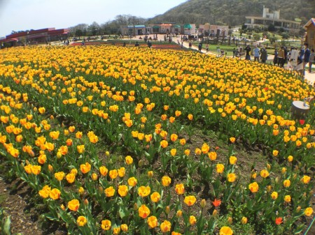 Tulip festival in Mt.Fuji