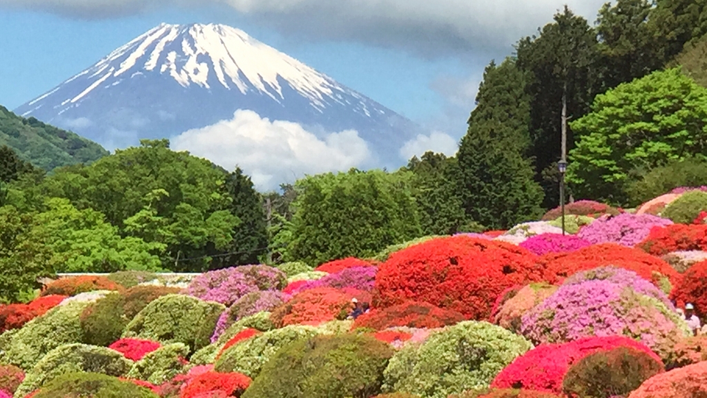 Fully bloomed azalea & Mt.Fuji