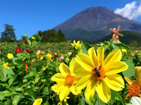 Dahlias and Mount Fuji in Grinpa
