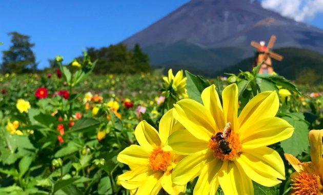 Dahlias and Mount Fuji in Grinpa