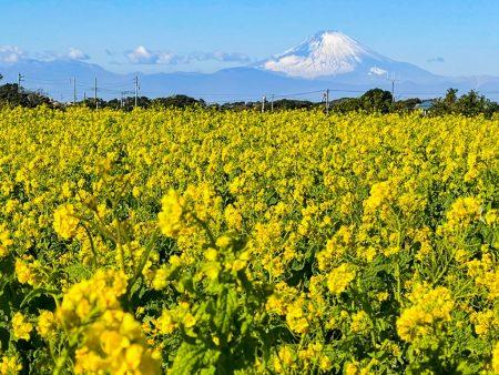 Rape blossoms and Mount Fuji in Nagai Uminote Koen park