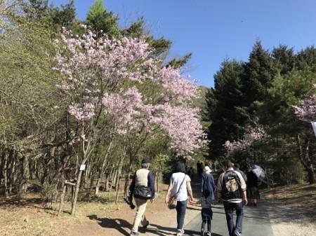 Pathway to the main field of Fuji Shibazakura festival