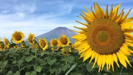 Mt.Fuji and Hanano Miyako Koen park