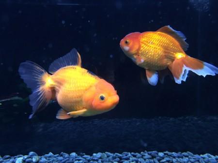 goldfish aquarium in Gotemba Kogen Toki No Sumika