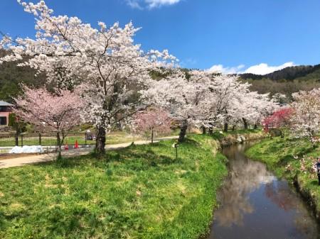 Cherry blossoms at Sin-Nashogawa river in Oshino Hakkai