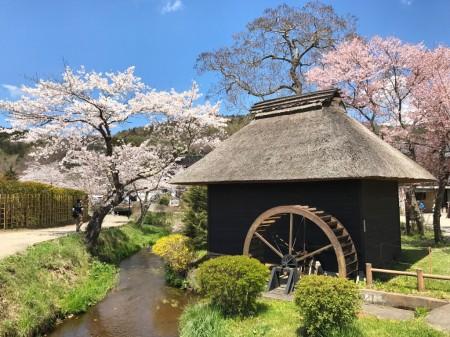 Water mill and cherry blossoms at Oshino Hakkai