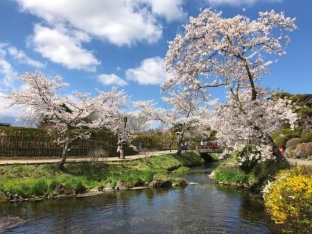 Cherry blossoms at Oshino Hakkai