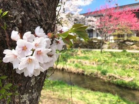 Cherry blossoms at Sin-Nashogawa river in Oshino Hakkai