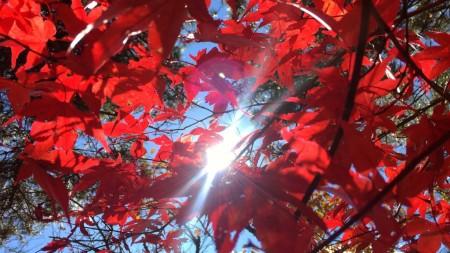 Autumn leaves in lake yamanaka