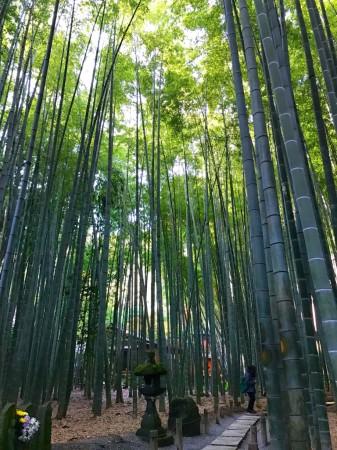 bamboo garden in houkokuji temple in kamakura