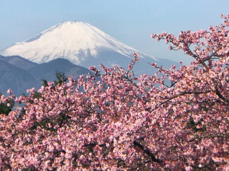 Mt.Fuji at Matsuda Cherry Blossom Festival 2018