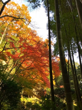Autumn leaves at houkokuji temple in kamakura