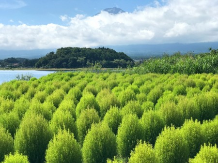 Green Kokia and Mt.Fuji in the lake Kawaguchi